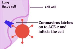 Hoe het Wuhan corona virus longcellen aanvalt (COVID-19 virus)