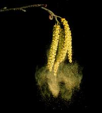 Hooikoorts en pollen in de lucht zorgen voor meer corona besmettingen